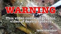 Scary Redback Spider Infestation Found I Need A NUKE-exNxoiX