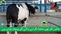 349 || Amazing cow qurbani || Karachi sohrab goth || Cow mandi || Kn & Rabbani Cattle Farm ||