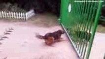 Séparés par un portail, ces chiens enragés sont sur le point de se battre, mais regardez ce qui se passe !