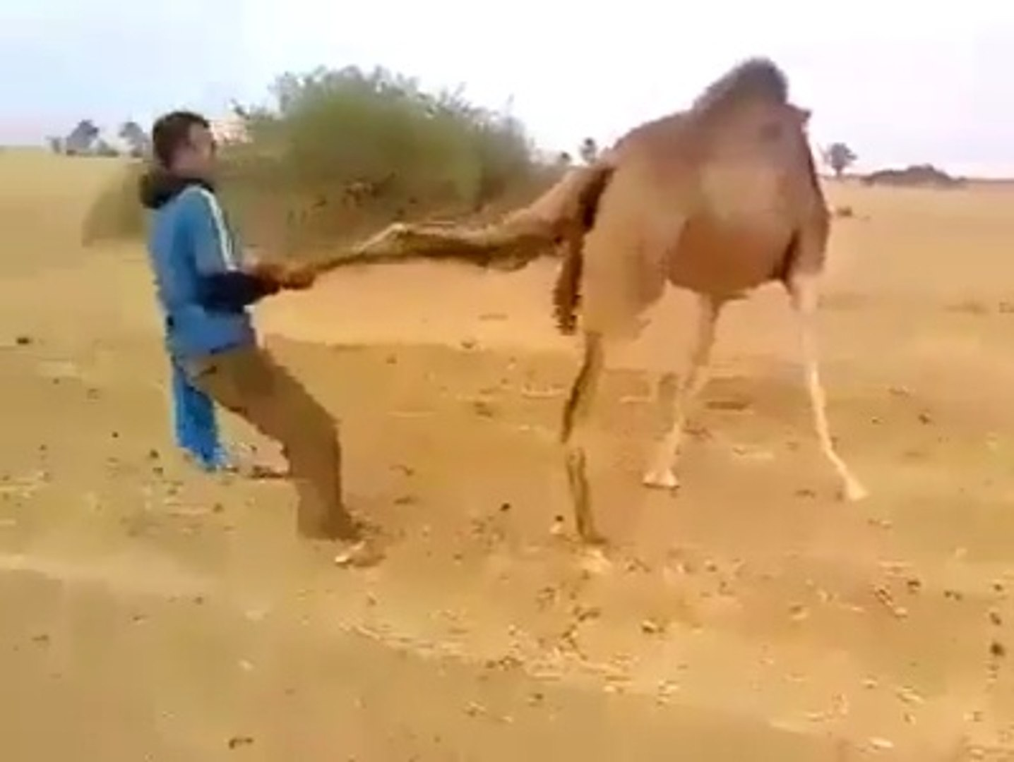 funny watch how man caught the camel in saudi Arab