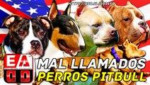 Documental American Pit Bull Terrier