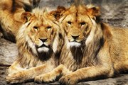 The Lion King of Africa | National Geographic Documentary | BBC Mystery Wildlife