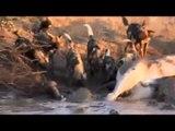 Wild Dogs Attack Crocodiles - Les chiens sauvages contre les crocodiles