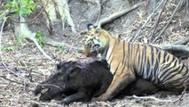 Tiger Attacks Wild Boar - Watch as this young female tiger attacks a wild boar
