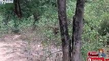 Tiger Kills a Leopard Hyena Kills a Jackal