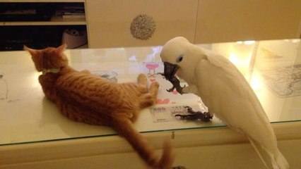 Funny parrot struggles to catch cat's tail