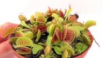 How to Feed a FLY to a Carnivorous Plant (Venus Fly trap)
