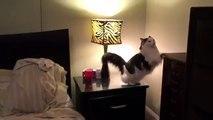 Un chat va au lit