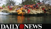 Thousands Of Crabs Migrate To Cuba's Bay Of Pigs To Lay Eggs