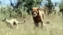 Dangerous   Nature Documentary   Animal Attack   Tiger Attack   Lions Vs Giraffe   African