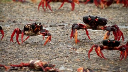 Crabs crawl in Cuba