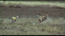 Slow Motion Cheetah Hunting