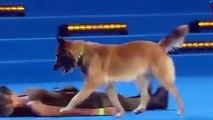 Sahibine kalp masajı yapan eğitimli köpek.
