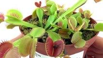 Plante carnivore qui mange une mouche - La Vénus tombe mouches se referme