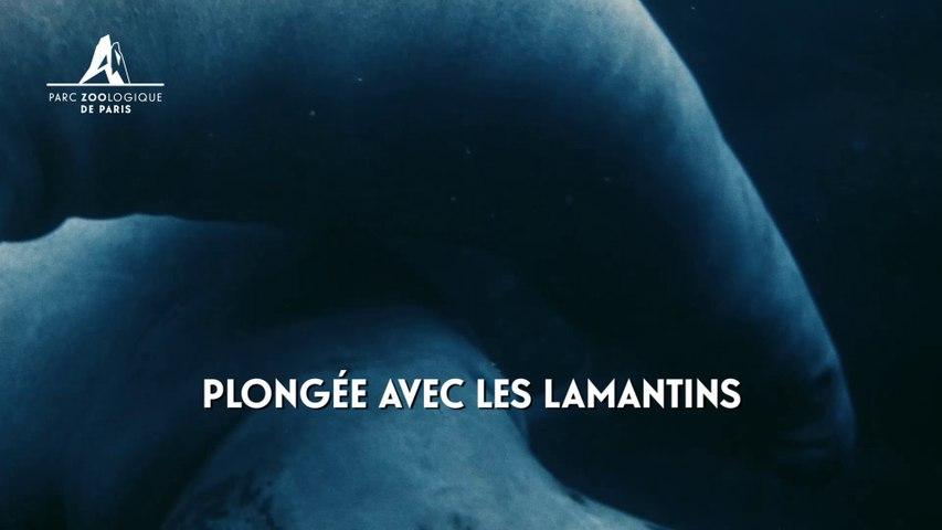 Plongée avec les lamantins au Parc Zoologique de Paris
