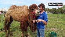 Vaucluse : la parole à la défense de Mammouth, le chameau accusé d'avoir agressé deux collégiens