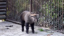 Naissance d'un takin à la Ménagerie, zoo du Jardin des Plantes