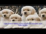 Golden Retriever Dog Barking sounds and introduce information about Golden Retriever Dog
