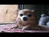 chihuahua puppies playing and barking with stick   Chihuahua barking.