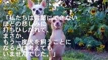 【感動】運命の出会い! 2本足で生まれたチワワを家族にしたら、飼い主夫婦も救われた!