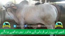 362 || Amazing Cow Qurbani || Karachi Sohrab Goth || Bakra eid in Pakistan || Shafiq Cattle Farm