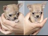 Sự thật thú vị về giống chó chihuahua nhỏ bé nhất thế giới