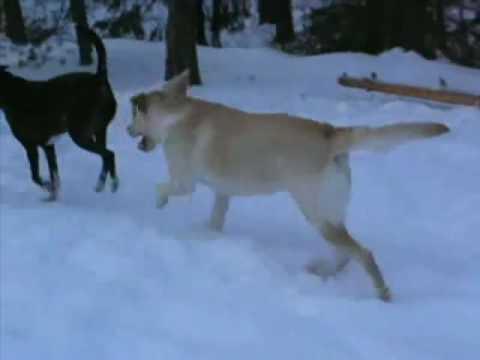 Dog barking labrador puppy | labrador dog barking at night.