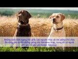 Giống chó Labrador Retriever Những thông tin cơ bản về giống chó Labrador