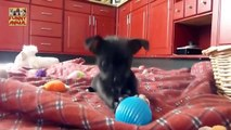 Most Funny Puppies Barking New -La mayoría de los cachorros divertidos Barking Nuevo