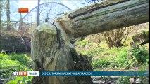 Des castors menacent le Loup Garou de Walibi 2017