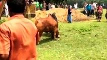 [MP4 720p] Very very Dangerous Bulls Fight video_ Best animal fights viral videos 2016 HD