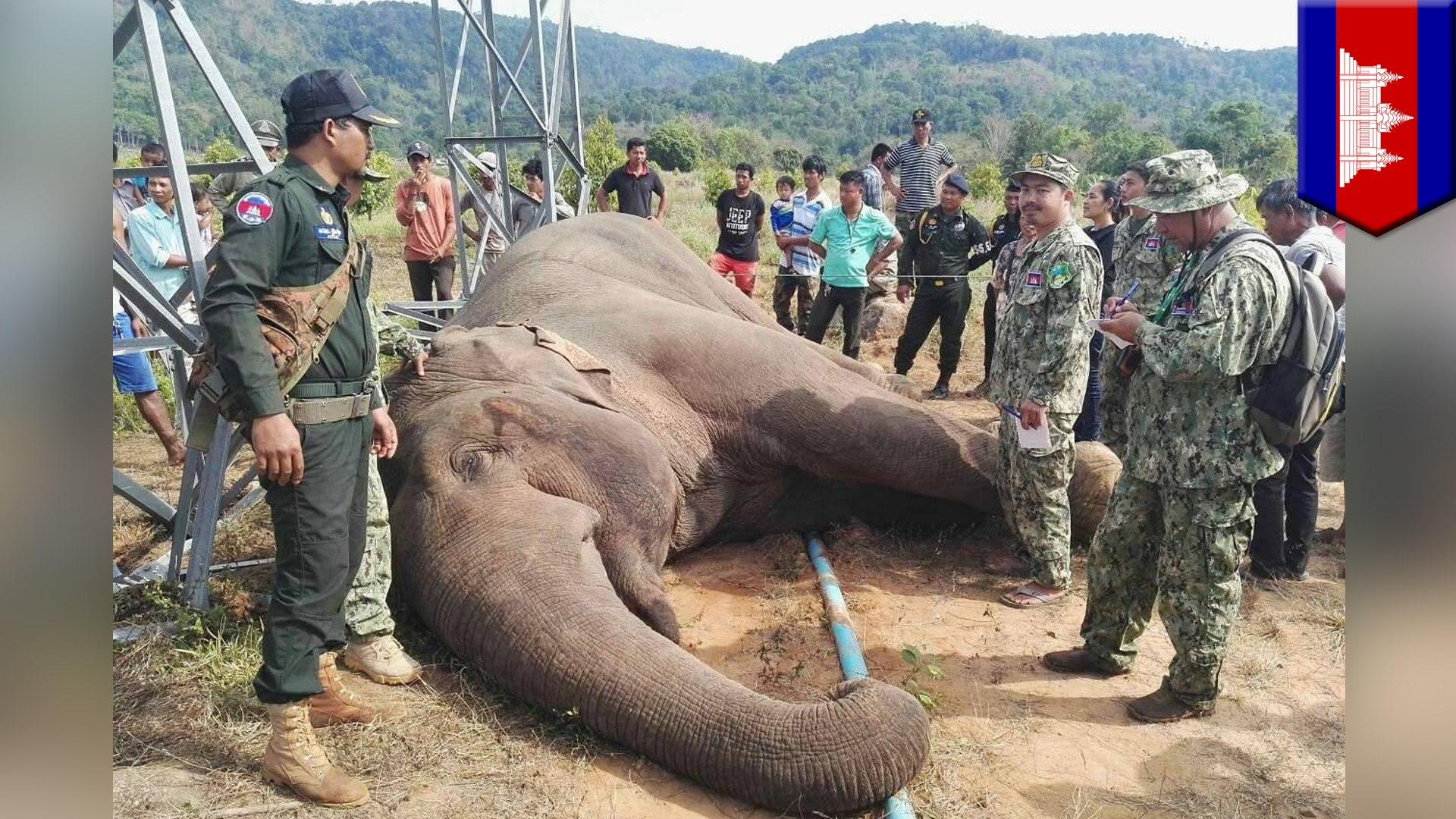 Gajah Asia langka mati tersengat menara listrik - Tomonews