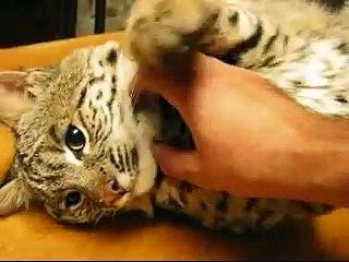 Confira a reação deste lince-pardo selvagem ao ser acariciado por um humano... Ahhhhhhhh!!