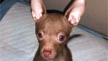 Man Sentenced For Biting Chihuahua Head Off