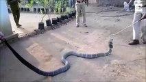 Regardez cet homme donner à boire à un Cobra Royal... risqué