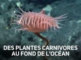 Surprise à 3770 m sous l'eau : une plante carnivore