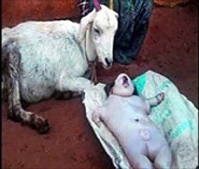 Goat Baby People Meet Him