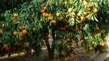 Pret pemët e portokallit, shkak bëhet çmimi i ulët - Top Channel Albania - News - Lajme