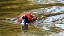 Argentine blue-bill, Argentine lake duck, or Argentine ruddy duck
