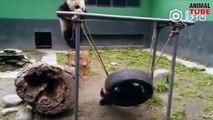 Cute Pandas playing like Babies - Cute Panda Compilations