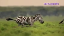Animals Attacks On Lion Buffalo vs Lion vs zebra Animal attack. Nature & Wildlife compilation