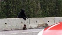 Cette maman ours sauve sont petit coincé sur la route