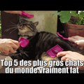 Zap vidéo: top 5 des plus gros chats les plus fat du monde !