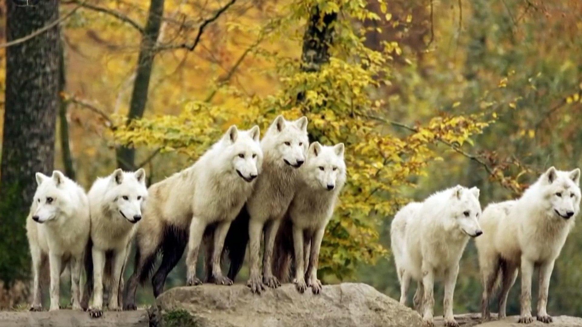 Клип! Идет охота На Волков! Clip! Goes hunting For wolves!