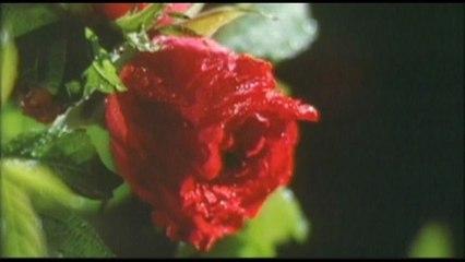 Hotei - A Rose In The Rain