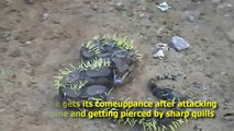 Snake attacked by porcupine with a sharp quills punctures - Boa snake writhing in pain