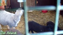 Sheep and lambs happy in his house on farm - Farm animals video for rtyrtyrtrrr
