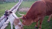 Une vache fait un massage à un chien... On aura tout vu !