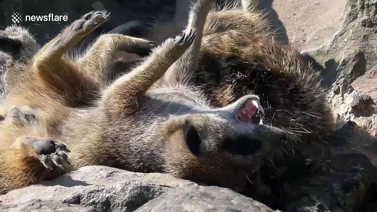 Meerkats sunbathing during British heatwave
