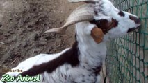 Happy goats in farm animals - Fimal
